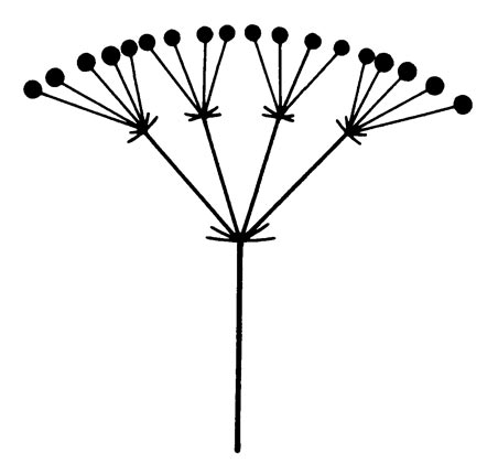 Compound umbel - Glossary - eFlora: Vascular Plants of the Sydney ...