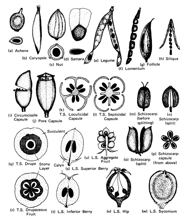 Populaire Fruit - Glossary - eFlora: Vascular Plants of the Sydney Region  MZ93