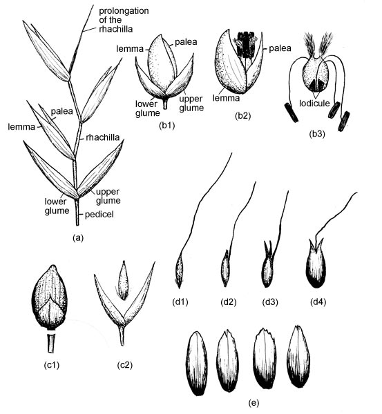 Grass structure glossary eflora vascular plants of the sydney grass structure glossary eflora vascular plants of the sydney region the university of sydney ccuart Image collections