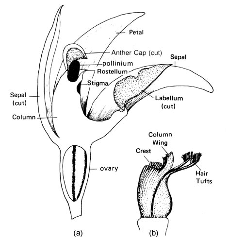 http://eflora.library.usyd.edu.au/glossary/image/orchid_structure.jpg