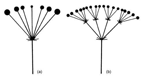 Umbel - Glossary - eFlora: Vascular Plants of the Sydney ...